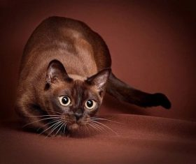 Beautiful Burmese cats Stock Photo (6)