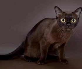 Beautiful Burmese cats Stock Photo (8)