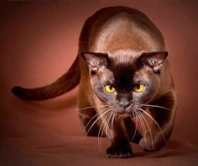 Beautiful Burmese cats Stock Photo (9)