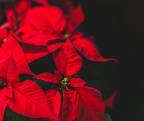 Beautiful Red Christmas Flower Poinsettia Stock Photo