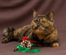 Beautiful Tortoiseschell cat Stock Photo 01