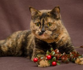 Beautiful Tortoiseschell cat Stock Photo 02