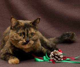 Beautiful Tortoiseschell cat Stock Photo 03