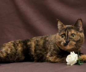 Beautiful Tortoiseschell cat Stock Photo 04
