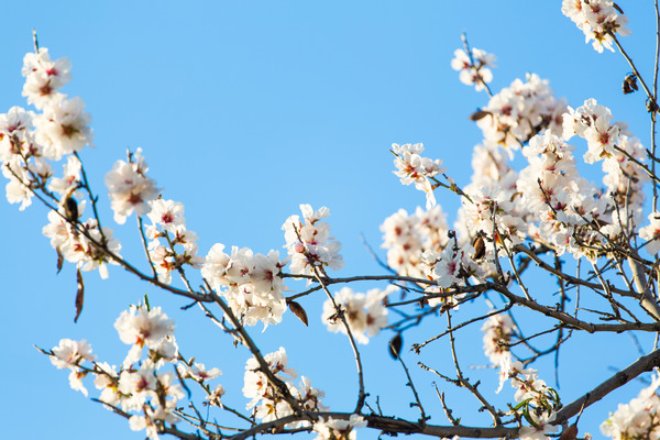 Beautiful white cherry blossom in nature Stock Photo