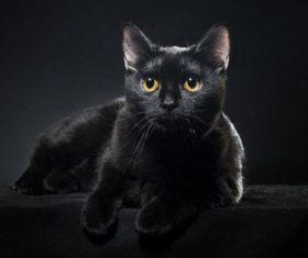 Beauty Bombay Cat Stock Photo (1)