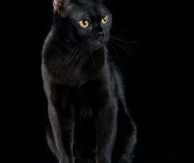 Beauty Bombay Cat Stock Photo (3)