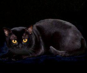 Beauty Bombay Cat Stock Photo (4)