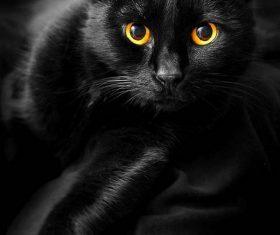 Beauty Bombay Cat Stock Photo (5)