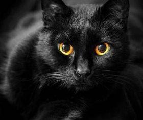 Beauty Bombay Cat Stock Photo (6)
