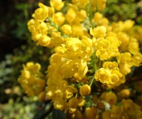 Close up photography of yellow rapeseed flowers Stock Photo