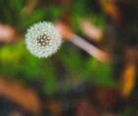 Dandelion flower close-up Stock Photo