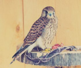 Domesticated bird Stock Photo 02