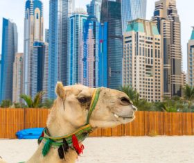 Dubai Beach ride camel experience Stock Photo 03
