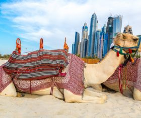Dubai Beach ride camel experience Stock Photo 05