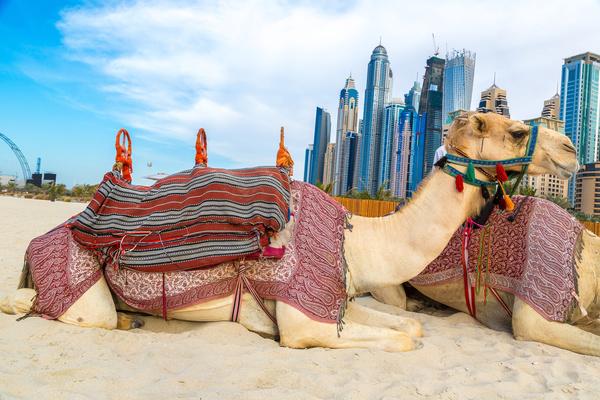 Dubai Beach ride camel experience Stock Photo 05