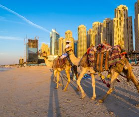 Dubai Beach ride camel experience Stock Photo 06