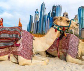 Dubai Beach ride camel experience Stock Photo 07