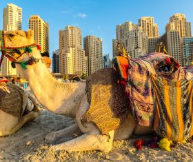 Dubai Beach ride camel experience Stock Photo 08
