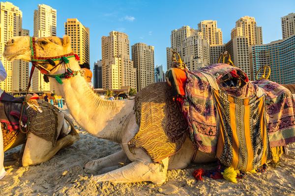 Dubai Beach ride camel experience Stock Photo 08