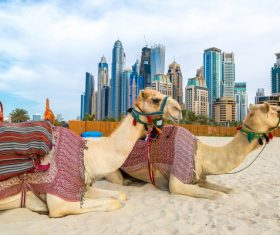 Dubai Beach ride camel experience Stock Photo 09