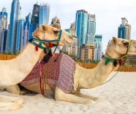 Dubai Beach ride camel experience Stock Photo 11