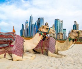 Dubai Beach ride camel experience Stock Photo 12