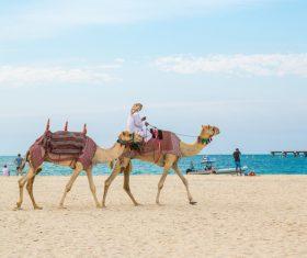 Dubai Beach ride camel experience Stock Photo 13