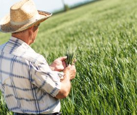 Examine wheat farmers Stock Photo 01