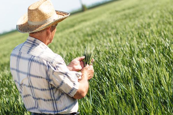 Examine wheat farmers Stock Photo 01