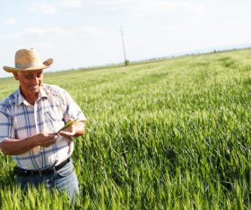 Examine wheat farmers Stock Photo 02