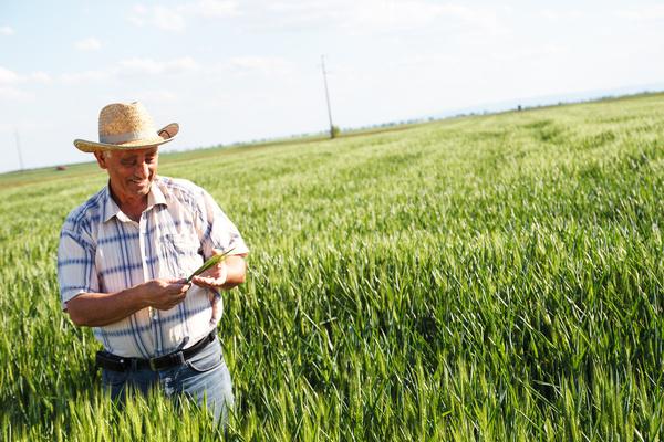 Examine wheat farmers Stock Photo 02