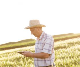 Examine wheat farmers Stock Photo 03