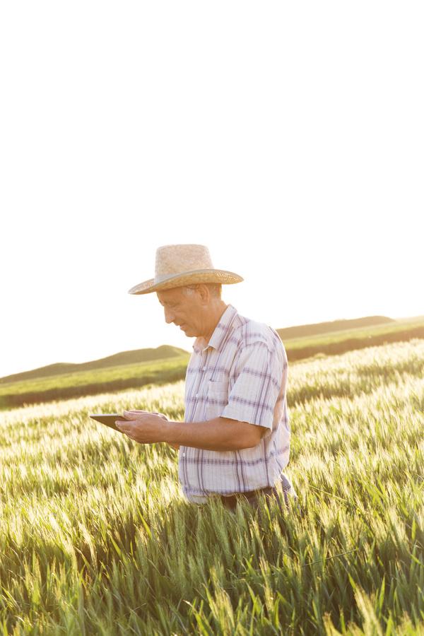 Examine wheat farmers Stock Photo 03
