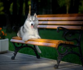 Husky dog in a city park Stock Photo (1)
