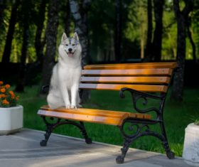 Husky dog in a city park Stock Photo (2)