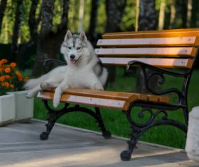 Husky dog in a city park Stock Photo (3)