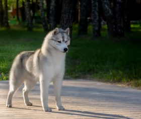 Husky dog in a city park Stock Photo (4)