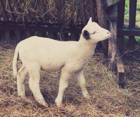 Lambs in the circle Stock Photo