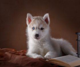 Little Husky dog with blue eyes Stock Photo (1)