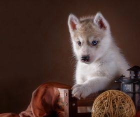 Little Husky dog with blue eyes Stock Photo (2)