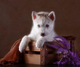 Little Husky dog with blue eyes Stock Photo (4)