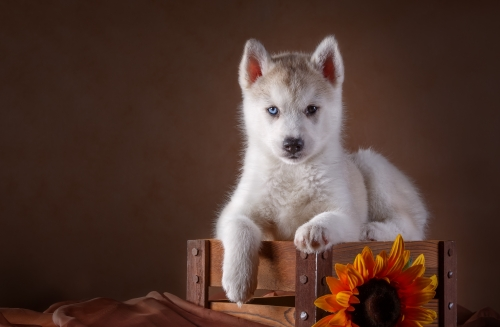 Little Husky dog with blue eyes Stock Photo (5)
