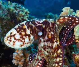 Octopus and Colorful underwater reef Stock Photo