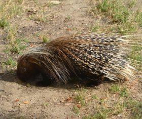 Porcupine Stock Photo 04