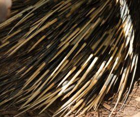 Porcupine Stock Photo 06