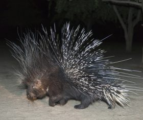 Porcupine Stock Photo 09