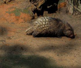 Porcupine Stock Photo 10