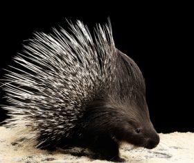 Porcupine Stock Photo 12
