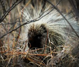 Porcupine Stock Photo 13